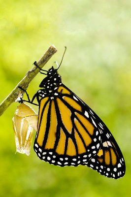 Picture of a chrysalis and butterfly